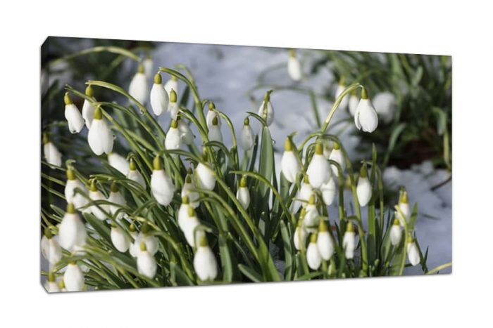 Snowdrops Image printed as a Boxed Canvas Print