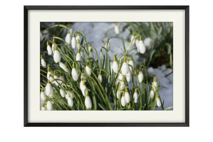 Satin Black Framed Snowdrops picture for sale from CJ Smith Photography