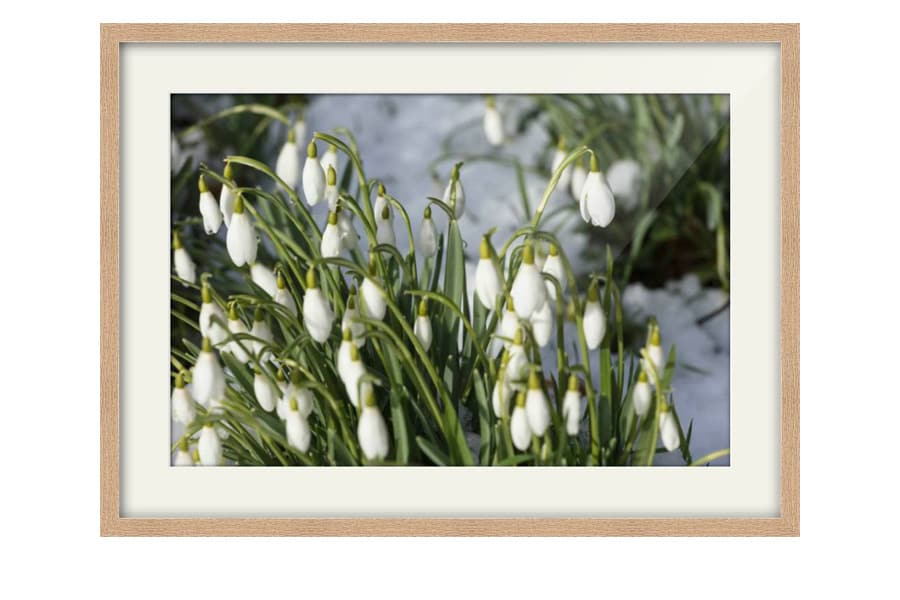 Natural Oak Framed Snowdrops picture for sale from CJ Smith Photography