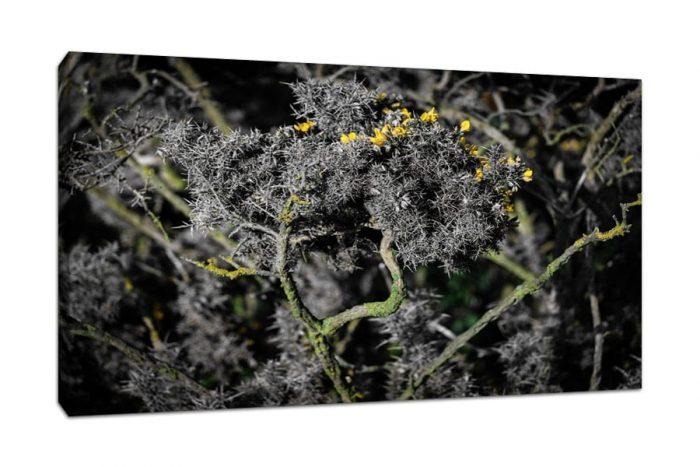 Scottish Gorse Bush Abstract Canvas Print