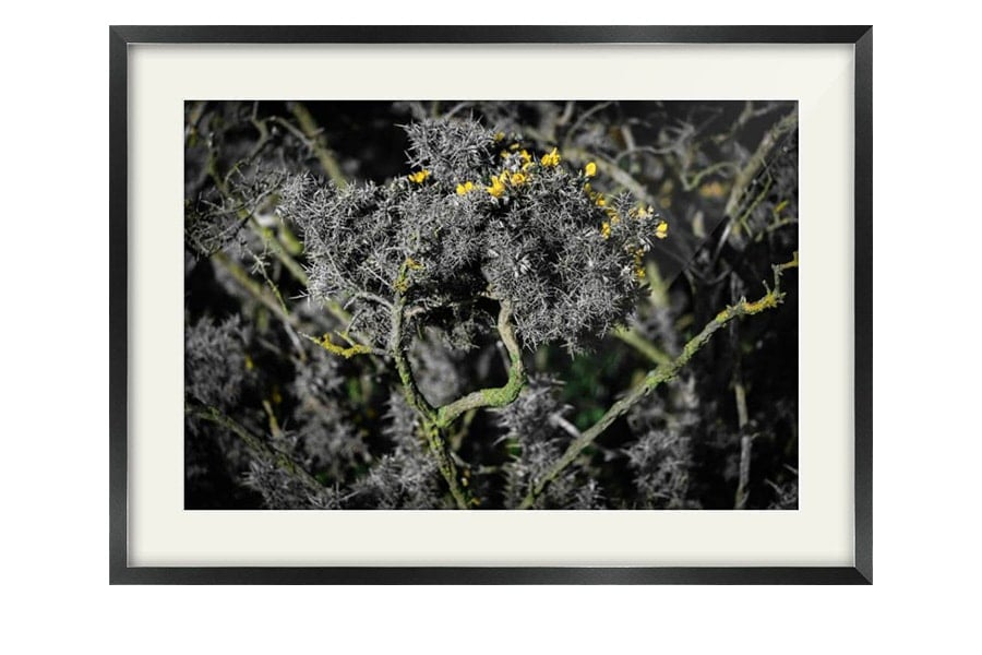Scottish Gorse Bush Black Framed Print
