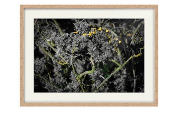 Scottish Gorse Bush Oak Framed Print