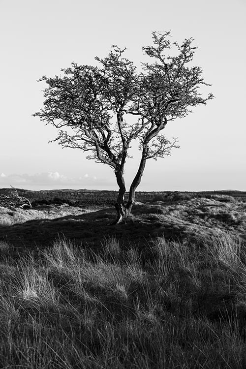 Galloway Lone Tree Portrait Style Print