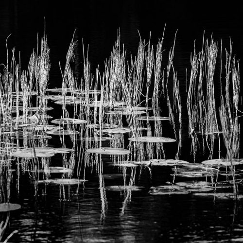 Scottish Reeds Black and White Square Crop Print Only